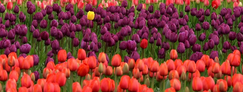 tulips-175605_1280